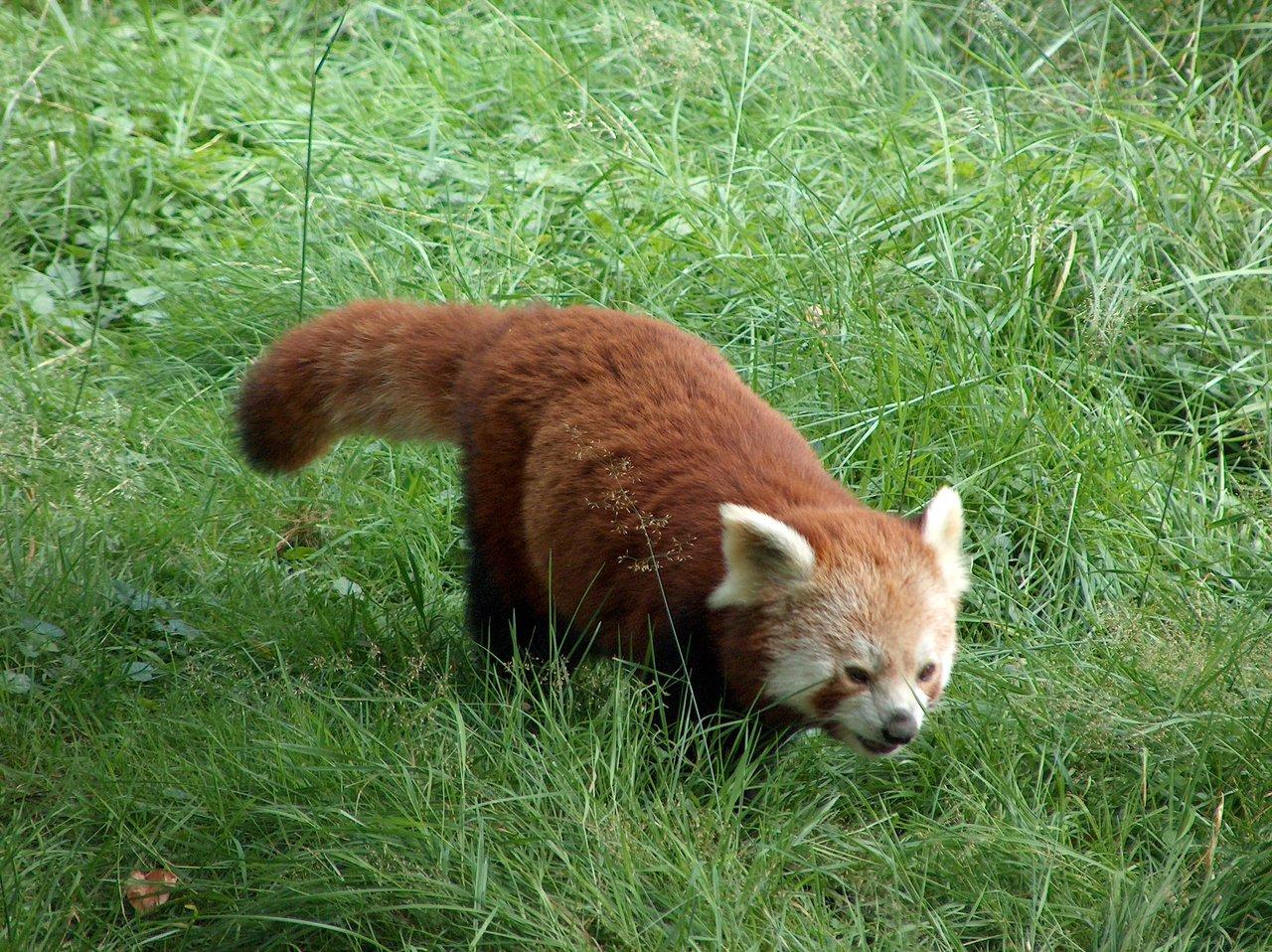 Ein Kleiner Panda, manchmal auch Firefox genannt